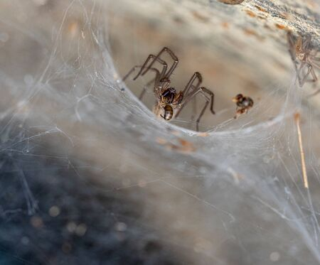 a spider comes out of its funnel web to eat its prey Imagens
