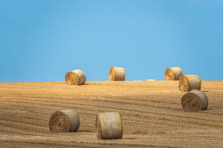 round straw bales lie on a harvested grain field