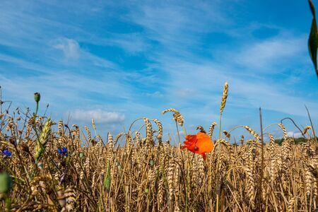 a red poppy stands in front of a field with ripe grain