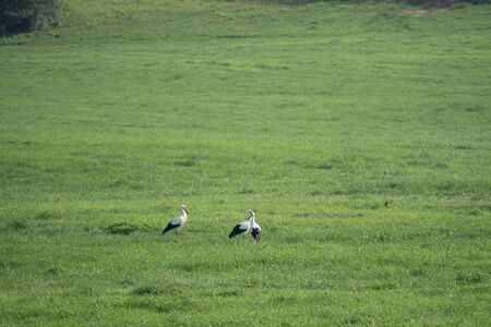 a group of storks stands on a green field and looks for food