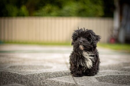 a Bolonka Zvetna puppy posing in front of the camera