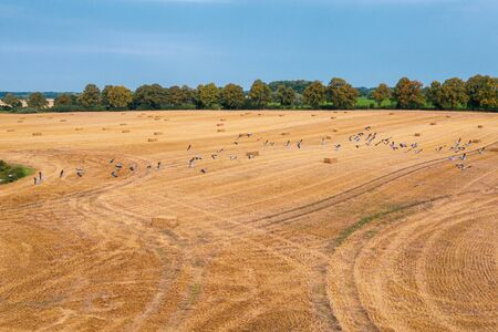 a large group of cranes flying over a mown field in search of food