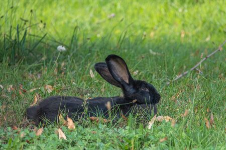 on a green meadow a black rabbit lies and looks into the camera and puts on the ears Banco de Imagens