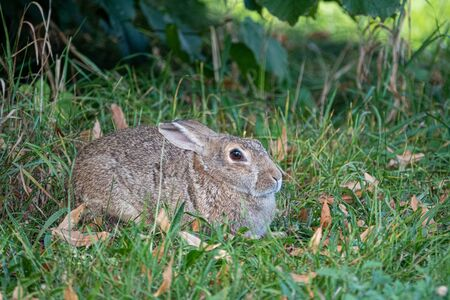 on a green meadow a brown rabbit lies and looks into the camera and puts on the ears