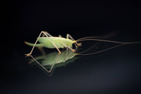 a green grasshopper is on a windshield and eats the remains of insects