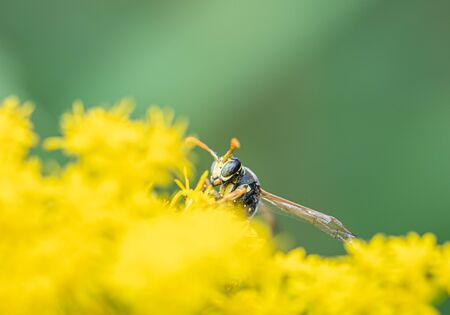 on a macro photo a black and yellow wasp eats flower pollen Stock Photo