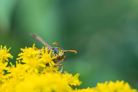 on a macro photo a black and yellow wasp eats flower pollen