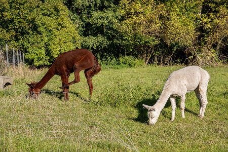 a white and two brown shorn alpacas stand on a pasture and look curiously into the camera