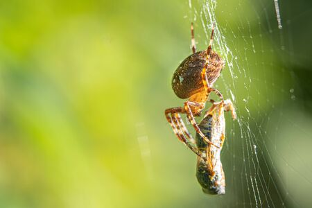 a big cross spider has caught a wasp as prey in its spider web and is now spinning it in