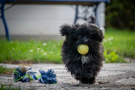 a small black dwarf bolonka retrieves a small yellow ball