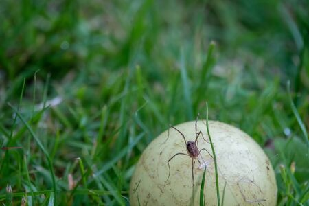 a long-legged trembling spider examining a small yellow ball lying on a green lawn