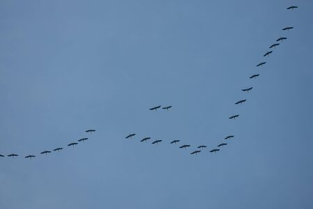 a large number of wild geese fly in formation towards the south