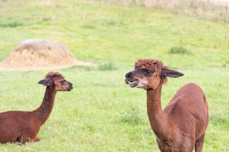a brown shorn alpaca stands on a meadow and looks into the camera