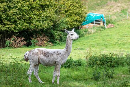 a white shorn alpaca stands on a meadow and looks into the camera Stok Fotoğraf