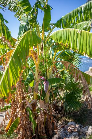 on a banana palm hangs a shrub with green bananas and in the background the sky is blue