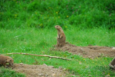 two gopher standing on the grass looking around.