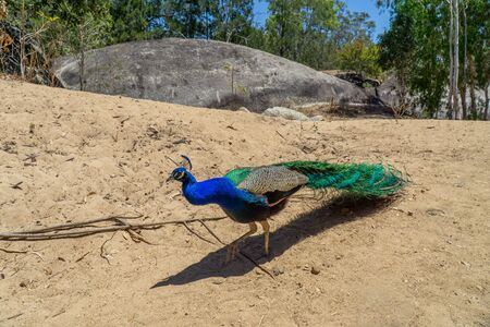 in Australia theres a peacock loose in the area. Фото со стока