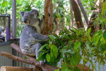 un koala australien est assis confortablement dans une fourche de branche et mange des feuilles vertes Banque d'images