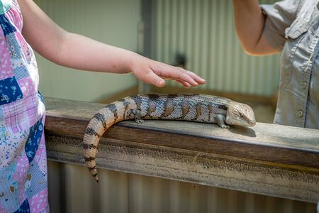 an Australian lizard sits trustfully on a human hand and can be stroked