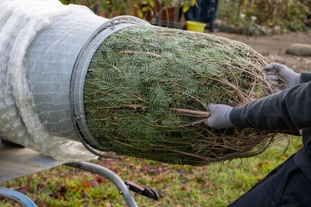 a man pulling a freshly sawn fir tree through a tube to wrap it in a net