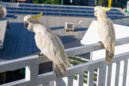 some white cockatoos sitting on the white balcony area in a hotel in Australia