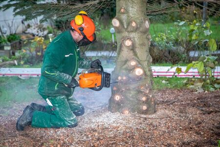a craftsman saws off a fir tree with a chainsaw