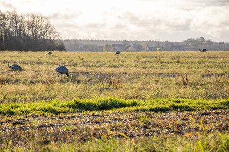 many Nandus stand on a pasture and look for fodder Reklamní fotografie