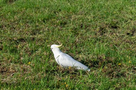 a white cockatoo runs across a green meadow in Australia Stock fotó