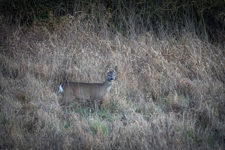 a deer stands well camouflaged in the high grass and looks curiously into the camera