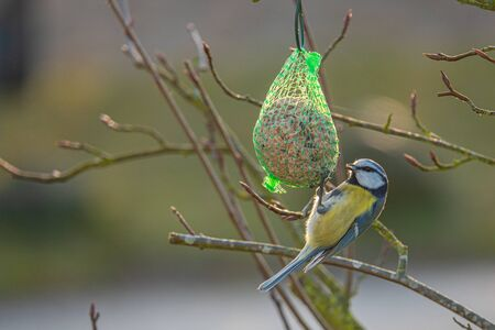 A colorful great tit hangs from a tit dumpling and eats food