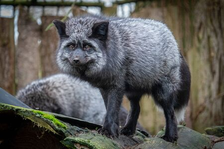 a portrait of a silver fox, Vulpes vulpes, in a zoo