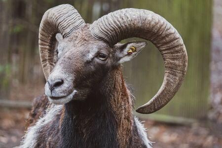a portrait of a mouflon, Ovis orientalis, in a zoo
