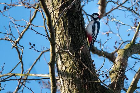 a great spotted woodpecker hangs from a tree looking for food Фото со стока