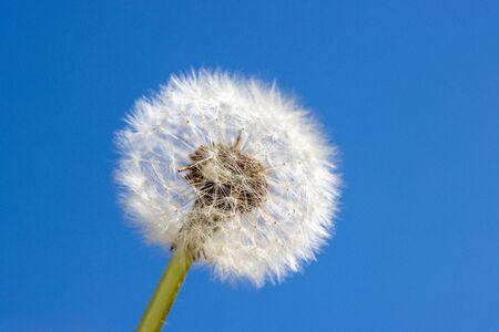 a close-up of a dandelion against a blue sky