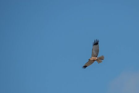 a marsh harrier flies in the blue sky and looks for prey Stockfoto
