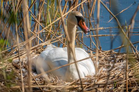 a white swan sits brooding in its nest in fine weather