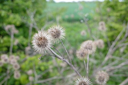 a close-up of a dry burdock plant in a field