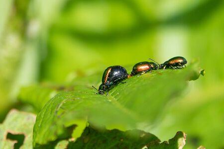 Metallic green, reddish or also bluish shining dock beetle, females at mating season with swollen, black abdomen
