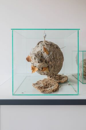 in a glass display case there is a large wasps' nest