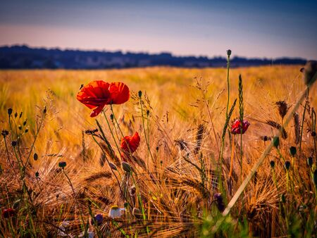 red poppies stand at the edge of a brown cornfield