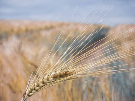 a close up of a barley barrow in front of a barley field