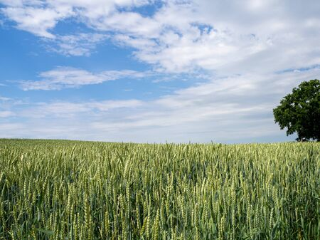 a green wheat field before a blue Sky with white clouds
