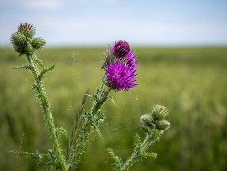 the purple flower of a thistle in front of a cornfield  Banque d'images