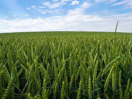 a green wheat field before a blue sky with white clouds Standard-Bild