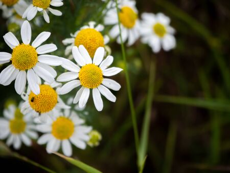 many chamomile plants cover the ground of a wild meadow Standard-Bild