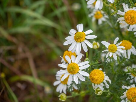many chamomile plants cover the ground of a wild meadow Banque d'images