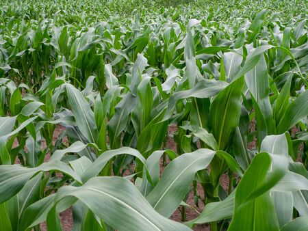 a green maize field in summer when the weather is fine Banque d'images