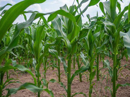 a green maize field in summer when the weather is fine Standard-Bild