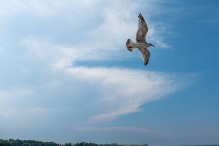 a big seagull flies close over the ground and the sky is blue  Standard-Bild