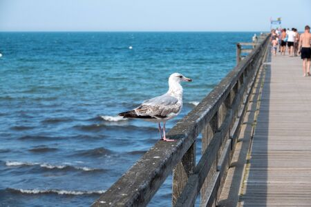a great seagull stands on the railing of a landing stage